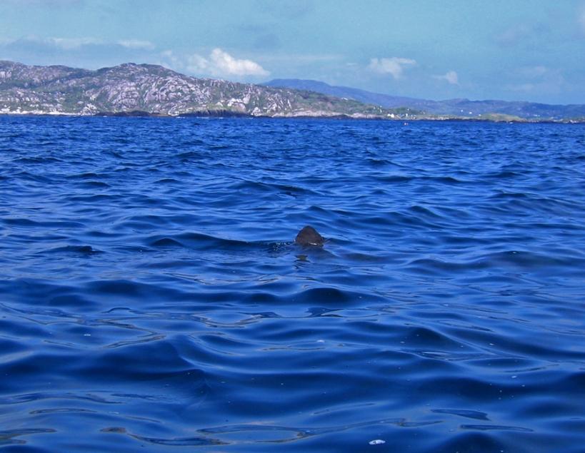 Basking shark  near Derrynane